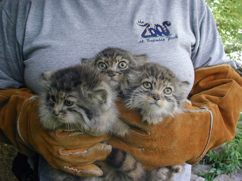 Pallas-kittens-4