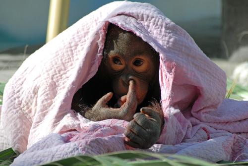 Baby Orangutan Plays Hide And Seek At The Phoenix Zoo Zooborns