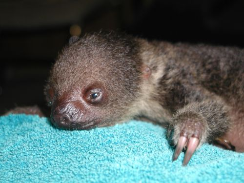 Baby sloth laying on blanket