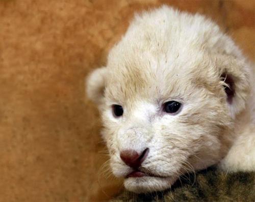 Lionwide