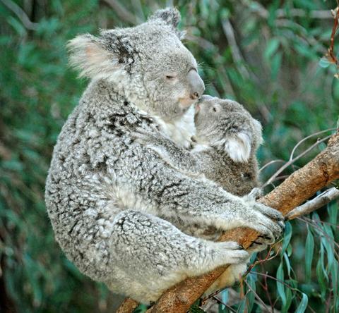 Mom & Baby Koala Nuzzle