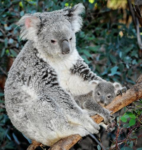 Mom & Joey (Joey = Baby Koala)