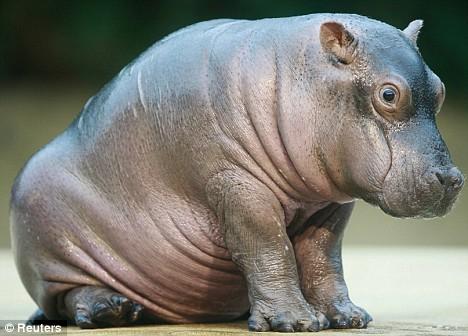 Baby hippo berlin zoo