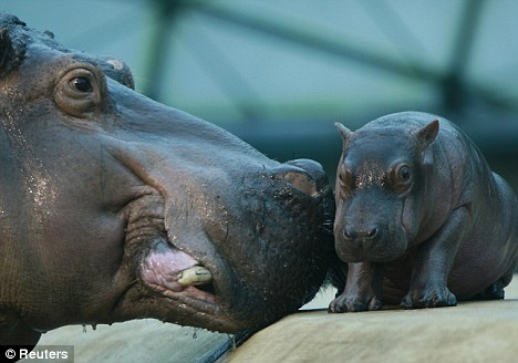 Baby hippo and mom nuzzling