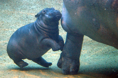 Baby hippo and mom