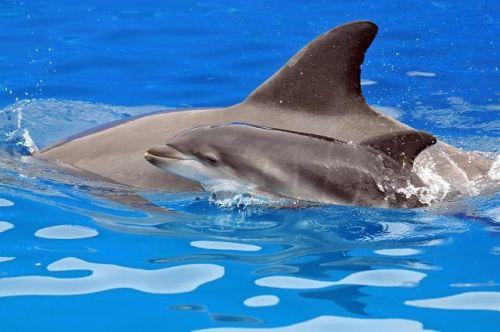 Seaworld baby dolphin calf 2