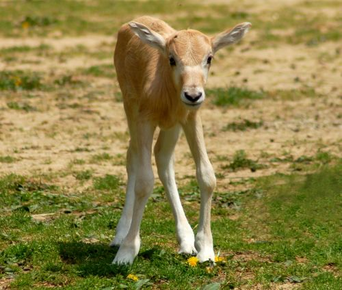 Baby Addax louisville zoo all legs
