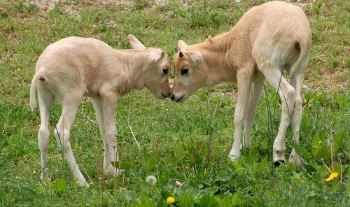 Baby Addax louisville zoo 3
