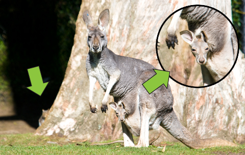 Red-Kangaroo-and-Joey-2