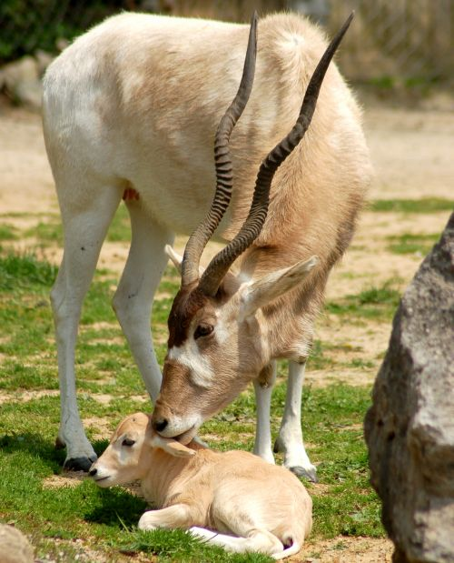 Baby addax louisville zoo mom nibbling