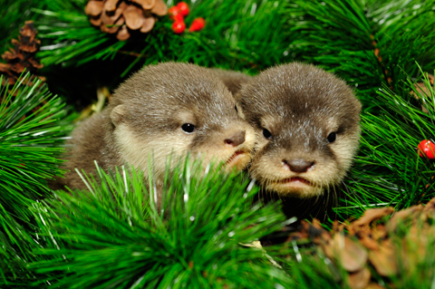 _JLM8540-small-clawed-otter-pups-12-11-08