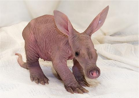 Baby Aardvark Amani Detroit Zoo Photo