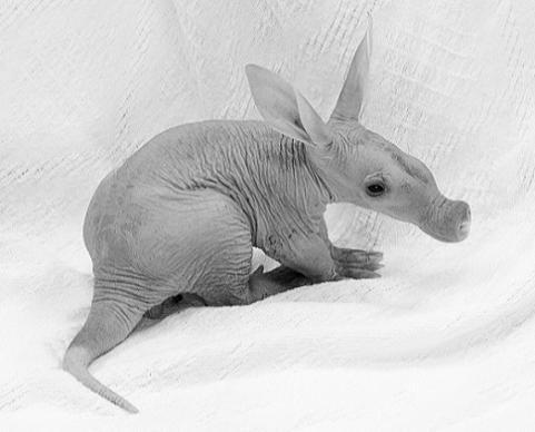 Baby Aardvark Amani Detroit Zoo