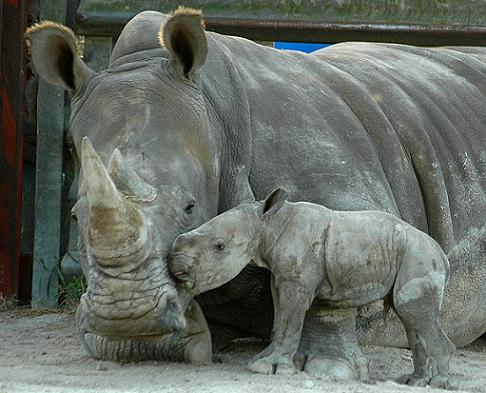 Baby rhino nuzzling mom lion country safari