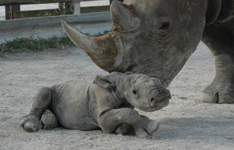 White rhino mother nuzzling baby rhino 2