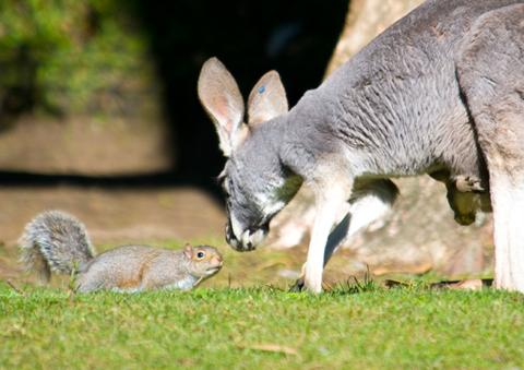 Red-Kangaroo-and-Joey-3