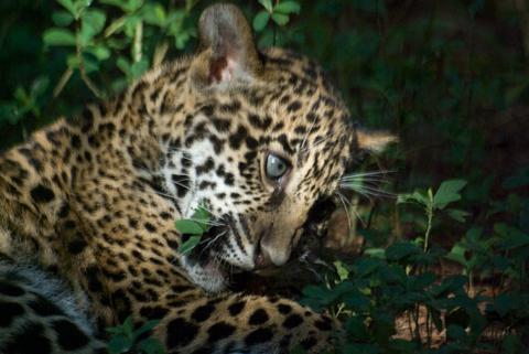 Brevard_jaguar2