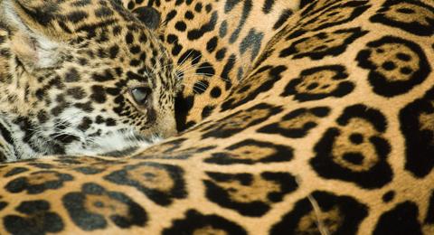 Bravard_jaguar1