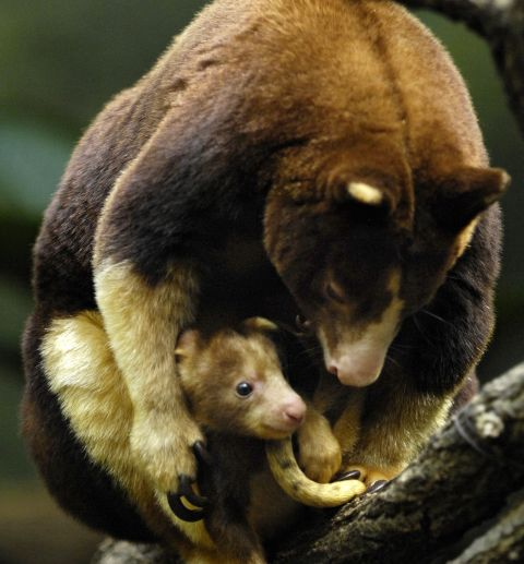 Tree kangaroo with baby kangaroo joey
