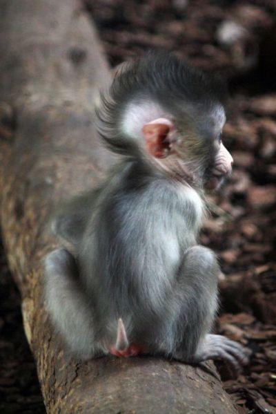 A Baboons But Baby Mandrill Mohawk -...