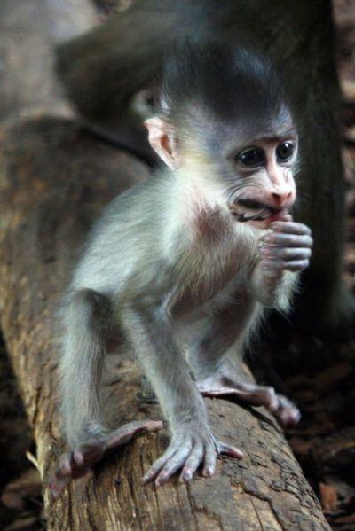 Baby mandrill monkey toronto zoo 2