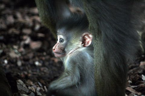Baby mandrill monkey toronto zoo 3