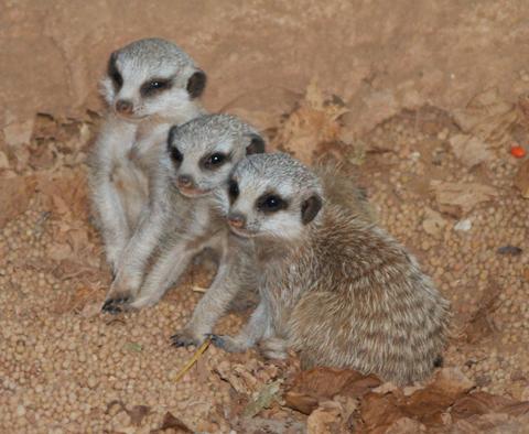 Meerkat_perth_zoo