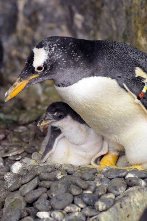 Gentoo penguin chicks sea world 1