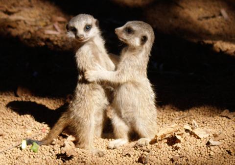 Meerkat_2_perth_zoo