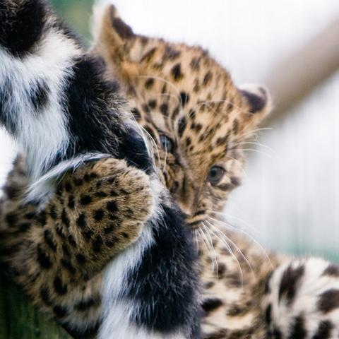 Amur_leopard3