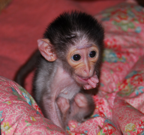 Baby mangabey biting fingers