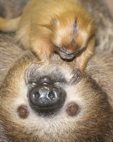 Sloth_and_tamarind_zooborns