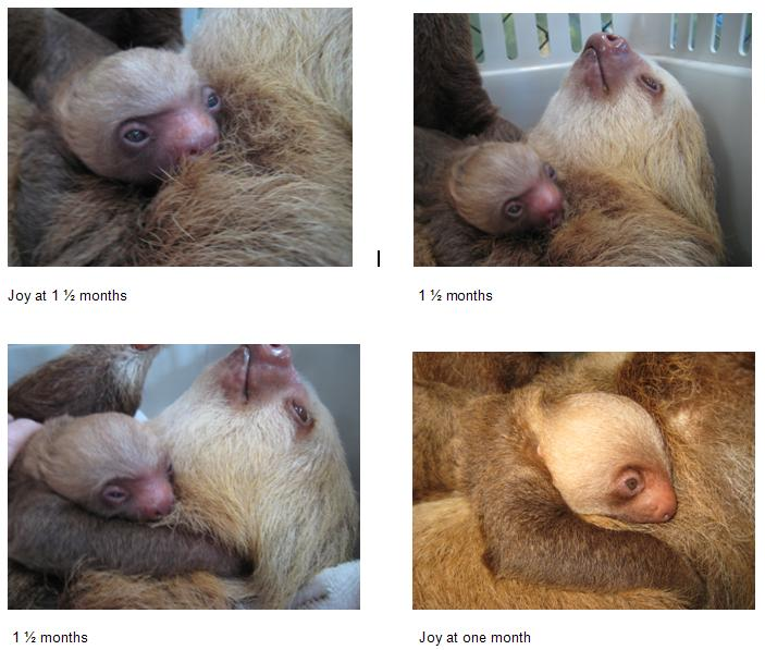 Baby sloth at 1.5 months montage 1
