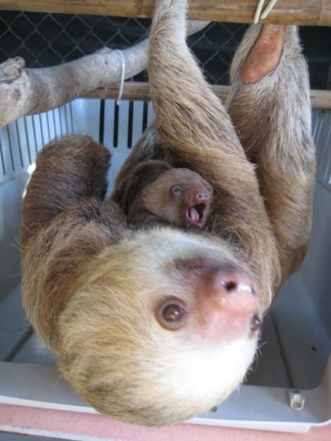 Baby Sloth Joy Resized