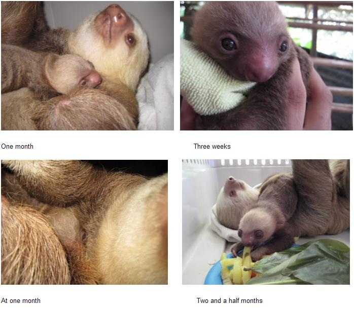 Baby sloth at one month montage 1