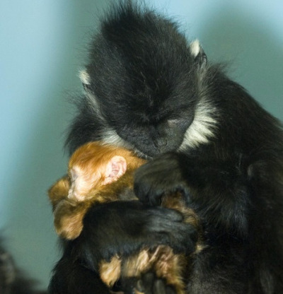 Baby francois langur sleeping lincoln park zoo 3