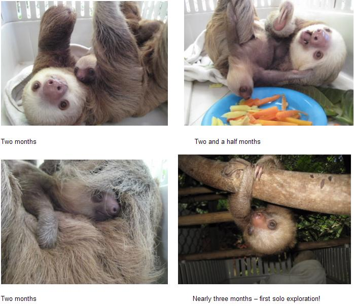 Baby sloth at 2 months montage 1