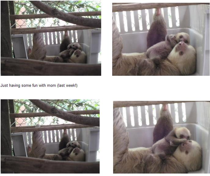 Baby sloth and mom montage 1