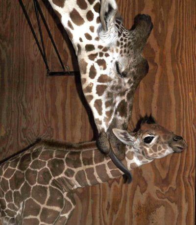 Baby giraffe calf san francisco zoo 3