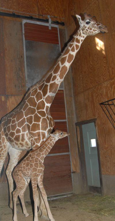 Baby giraffe calf san francisco zoo 1