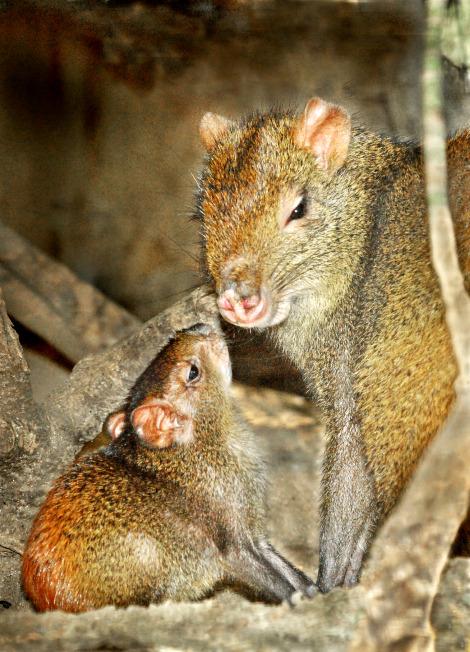 Agouti Baby & Mom LA Zoo 2