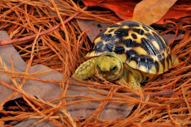 Baby Burmese Star Tortoise Hatchling 1