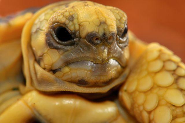 Baby Burmese Star Tortoise Hatchling 2