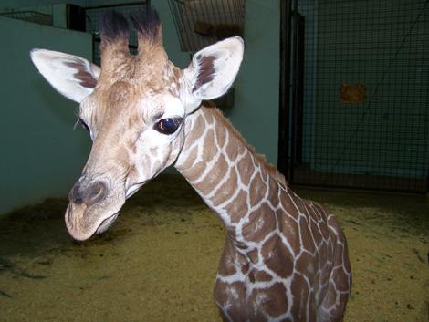 Baby-Giraffe-2009-020