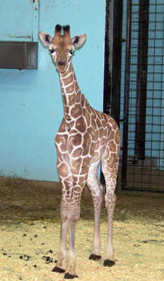 Baby-Giraffe-2009-018