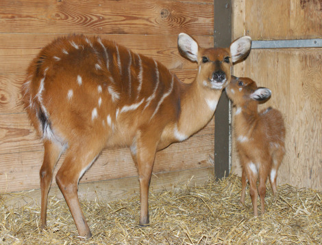 Sitatunga with mom