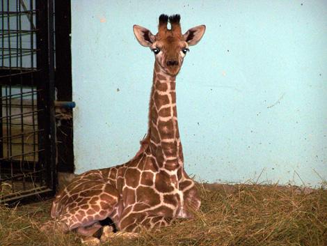 Baby-Giraffe-2009-002
