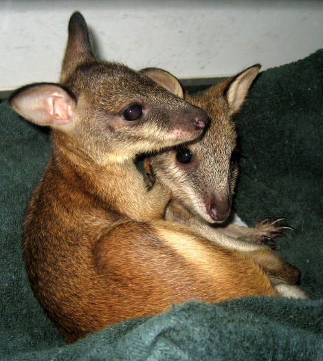 Agile wallaby joeys