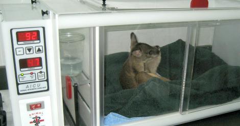 Wallaby in incubator