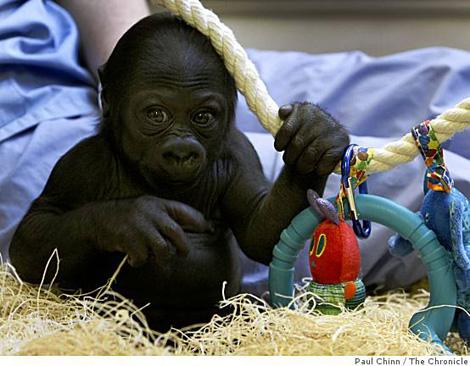 Ba-gorilla_0499790915